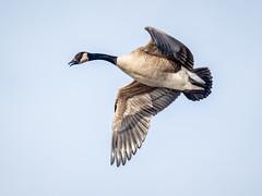 Canada Goose (shooter1229) Tags: animal avian bird canadagoose heronpark nature outdoors wetlands wildlife winter