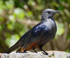 Red-winged Starling (Onychognathus morio) female ... (berniedup) Tags: capepoint capepeninsula redwingedstarling onychognathusmorio starling taxonomy:binomial=onychognathusmorio