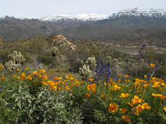 Flowery Desert and Snowy Peaks (zoniedude1) Tags: arizona desert springinthedesert wildflowers desertbloom2019 snowymountains flowerydesertandsnowypeaks springbeauties lupinesandpoppies sonorandesert greendesert thespringbloom lupine coulterslupine lupinussparsiflorus fabaceae peafamily annual indigo blue purpleishblueish blooming flower native gold poppies mexicangoldpoppy eschscholziacalifornicasspmexicana yellow flowering orange beauty mazatzalmountains desertscape brilliant colorful flowers desertinbloom maricopacounty tontonationalforest bartlettlakerecreationarea desertspring2019 2280ftelevation inthewild outdoors hiking exploration discovery closeup detail macro southwest nature canonpowershotg12 pspx19 zoniedude1 earthnaturelife explore