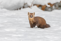 Pine Marten (Joe Branco) Tags: ontario canada photoshop lightroom forest nikond850 wildlifephotographer nature tree grass joebrancophotographer nikon pinemarten green