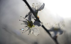 another sunny blackthorn blossom picture! (conall..) Tags: prunusspinosa prunus spinosa blackthorn sloe nikon afs nikkor f18g lens 50mm prime primelens nikonafsnikkorf18g closeup raynox dcr250 macro county down tullynacree nw551041 annacloy garden northernireland backlit backlight intothelight sun sunny desenfoque outoffocus narrow dof selective focus