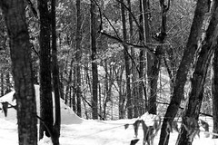 Fresh Snow (Northern Wolf Photography) Tags: 14140mm 32mm bw em5 forest light middlesexfells monochrome olympus snow statereservation trees whiphill winter woods stoneham massachusetts unitedstatesofamerica us