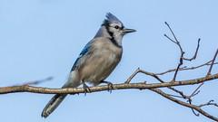 _DSC0166 (johnjmurphyiii) Tags: 06416 birds connecticut cromwell originalnef shelly tamron18400 usa wildlife winter yard johnjmurphyiii