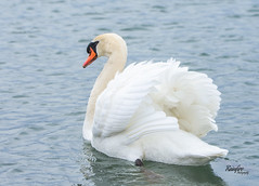 Attitude Problem (Rainfire Photography) Tags: mute swan waterfowl bird wildlife beautiful toronto lake ontario nikon