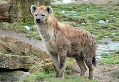 Kitano (Schwanzus_Longus) Tags: leipzig zoo german germany african africa animal mammal spotted hyena male