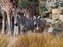 Zebras (jim2302) Tags: zoo dublin ireland zebra zebras olympus pen f7 f 35100 zoom telephoto giraffe giraffes forground