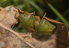 Gorse Shield bugs (explored) (Anne Richardson) Tags: shieldbug gorse gorseshieldbug arne dorset wildlife nature macro macrophotography insect