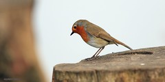 robin J78A0193 (M0JRA) Tags: robins birds humber ponds lakes people trees fields walks farms traylers