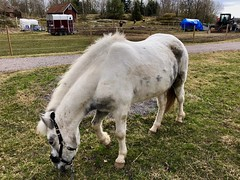 Hon har publik… (Patrick Strandberg) Tags: sweden östergötland bergagård freyda freydafrånblixtorp icelandichorse islandshäst horse häst iphone iphonex