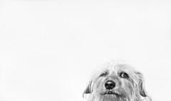 Barkley, the wonder dog (Joe Wicks) Tags: dog terriermix doxiemix dachshundmix fun funny portrait bw cute furry furbaby puppy animals pets sideeye attitude look face expressions