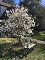 Star Magnolia & bench (karma (Karen)) Tags: baltimore maryland neighborhood trees starmagnolia blossoms benches hbm iphone shadows shadowplay topf25