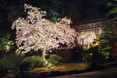 Hanami at night (PeterThoeny) Tags: saratoga california usa siliconvalley sanfranciscobay sanfranciscobayarea southbay hakonegardens japanesegarden garden park cherryblossom blossom hanami tree night light outdoor mystery sony a7 a7ii a7mii alpha7mii ilce7m2 fullframe vintagelens dreamlens canon50mmf095 canon 2xp raw photomatix hdr qualityhdr qualityhdrphotography fav30