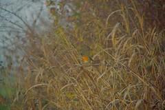 Handle with care (Mi-Fo-to) Tags: robin pettirosso natura nature erba grass winter time inverno hiking passeggiata bird uccello wild selvaggio conservazione preservation