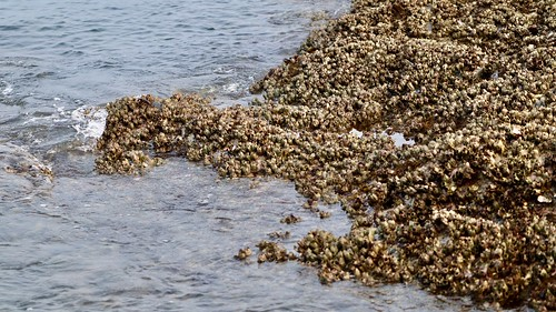 Barnacles by the sea