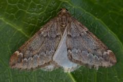 1663-_W4A8678 March Moth (Alsophila aescularia) (ajmatthehiddenhouse) Tags: kent stmargaretsatcliffe garden uk 2018 geometridae oenochrominae moth marchmoth alsophilaaescularia
