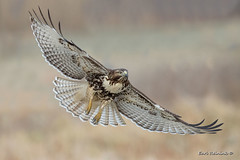 Picture perfect form.. (Earl Reinink) Tags: hawk raptor bird animal earl reinink earlreinink nature outdoors flight ziodhdadoa