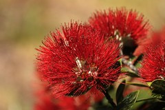 Red..... (flying-leap) Tags: newzealand nz summer red tree flora gorebay pohutukawa sony sonydscrx10m4 sonydscrx10iv sonyrx10iv 52in2019 endemicspecies canterburynz canterbury