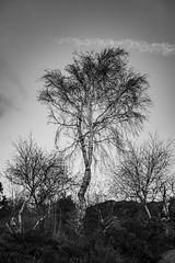 Winter Trees (Rudi Pauwels) Tags: goteborg gothenburg sweden sverige schweden tangudden trees winter bw blackandwhite blackwhite monochrome sigma sigma1850mm 1850mm nikon d7100 nikond7100