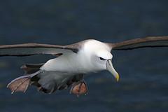 White-capped Albatross (Alan Gutsell) Tags: newzealandwhitecappedalbatross whitecappedalbatross white capped seabird largebird birds endemictonewzealand endanger rarebirds stewart island stewartisland