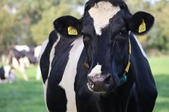 Delta  Sundance Solero (excellentzebu1050) Tags: livestock cow cattle closeup farm dairycows grass oudoors dairyfarm animalportraits animal coth5