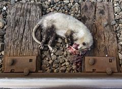 (o texano) Tags: houston texas trains freights nature death possum