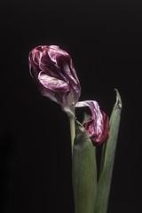 Tulip (mellting) Tags: eskilstuna lägenheten nikond500 platser bloggad flickr instagram matsellting mellting nikkor5018 nikon sverige sweden tulip tulipa tulpan flower plant
