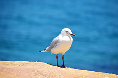 Seagull stands on the pacific ocean background (Travel Bigworld) Tags: seagull gull bird sea ocean bluesea pacific bondi beach sydney australia