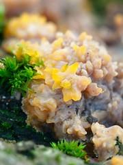 Rusorypykkä - Phlebia radiata - Wrinkled crust fungus (Henri Koskinen) Tags: 19102018 viikki helsinki finland rusorypykkä phlebia radiata wrinkled crust fungus sieni mushroom