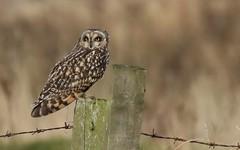 Short-eared Owl      (Asio flammeus) (nick.linda) Tags: shortearedowl asioflammeus wildandfree owls birdsofprey northeastengland perched canon7dmkii canon100400mkll