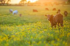 MårtenSvensson_115_3U4A9868 (Bad-Duck) Tags: jordbruk mat bete betesmark ko kor kväll köttdjur köttras sommar