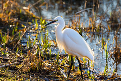 Backlit Egret (~ **Barbara ** ~) Tags: bird wildbird egret littleegret white pond water lake summerleys naturereserve northamptonshire uk countryside sunny canon7dii