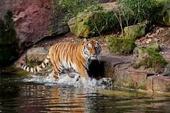 Sibirischer Tiger IMG_4812 (pappleany) Tags: tiger sibirischertiger tier säugetier raubtier tiergarten tiergartennürnberg
