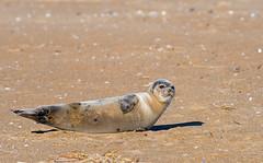 Mr. Sandman (WhiteEye2) Tags: seal harborseal wildlife nature
