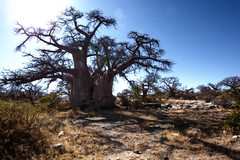 Grow til Eternity _6951 (hkoons) Tags: kubuisland kukomeisland lakemakgadikgadi lekhubuisland makgadikgadipan nationalpark nxaipannationalpark nxaipan southernafrica suapan africa baobab botswana quiver sowa sua tree ancient arbor bloom blossom branch branches bud buds canopy color flora flower green growth large leaf leaves limb limbs old outdoors pan panorama roots soil stem sun sunshine trees trunk