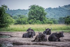 Ruminating buffalo's... (Manon van der Lit) Tags: africa afrika uganda oeganda lakemburonationalpark lakemburo gamedrive safari wildlife buffalo ruminating animal mammal pool field