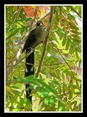 oiseau des tropiques (tropical bird) (hcortade) Tags: oiseau birdb queue plume bleu blue rouge red arbre branche tree vert green thailande samui voyage travel coth5 ile island animal nature