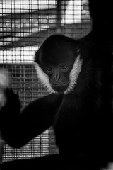 Monday Monkey Lives For The Weekend! (Neil B's) Tags: monkey monday bw noir primate unhappy caged freedom hanging black white animal zoo
