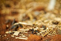 Nachmittagskaffee... (@dine) Tags: biene bee kaffee coffee helios sony a6500 bokeh animals insects frühling