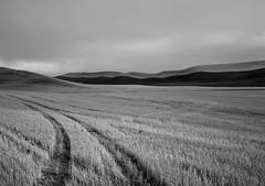 In a Field, Eastern Washington (austin granger) Tags: field washington palouse winter tracks crop farm farmer agriculture topography film gw690
