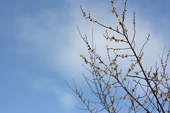 IMG_0841 (lesguillemets) Tags: kyotobotanicalgarden blossom sky ume plum