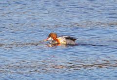 Common Merganser (Liam Waddell) Tags: merganser duck water blue brown orange black grey river garnck bogside flats sssi irvine ayrshire scotland