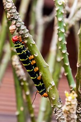 caterpillar (UAJamie1) Tags: antigua carribean island ocean tropical vacation westindies caterpillar