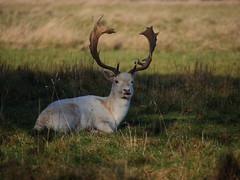 (yvonnepay615) Tags: panasonic lumix gh4 nature deer holkham norfolk eastanglia uk