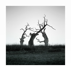 The referee (Nick green2012) Tags: trees square minimal blackandwhite landscape oaks wabi sabi silence