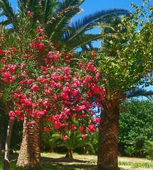 Пальмы и олеандр (lvv1937) Tags: сад пальмы цветы греция photography5 flickrunofficial