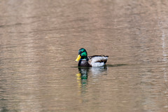 ashleyreservoir2019-22 (gtxjimmy) Tags: nikond7500 nikon d7500 tamron 150600mm newengland holyoke massachusetts watersupply reservoir duck mallard bird