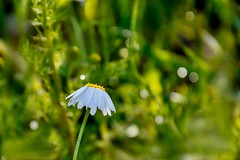 waiting for spring (adenkis) Tags: spring nature naturephotography bokeh flower natureinfocusgroup