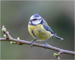 Blue tit (Linton Snapper) Tags: cyanistescaeruleus bluetit birds gardenbirds lintonsnapper canon cambridgeshire tonysmith