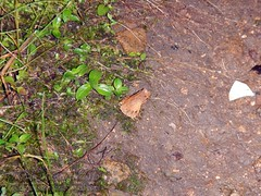 Megophrys ombrophila #7 DSCN1093v3 (Kevin Messenger) Tags: amphibians frog fujian wuyishan megophrys ombrophila amphibia toad china kevin messenger hollis dahn new species guadun herpetology canon wildlife research nature