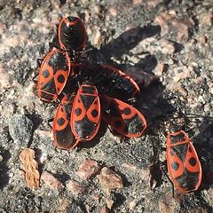 Eldlöss (Håkan Jylhä (Thanks for +750.000 views)) Tags: skalbagge bug bugs eldlus red black group vår spring sweden sverige håkan jylhä iphone